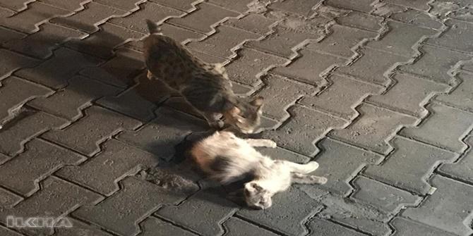 Midyat'ta kedi araba çarpan yavrularının başlarından ayrılmadı