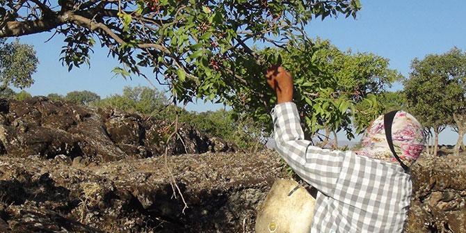 Çınar Belitaş'ta menengiç toplayarak aile bütçesine katkı sağlamaya çalışıyorlar