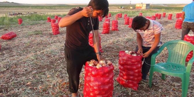 Artan masraflar soğan eken Çınarlı çiftçiyi zorluyor