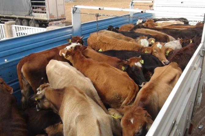 Çiftçiler standartlara uymayan hibe hayvanları kabul etmedi