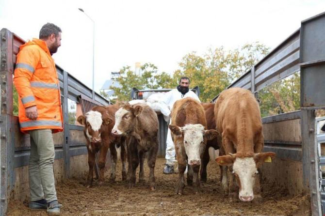 Tunceli'de 80 çiftçiye 400 düve dağıtıldı