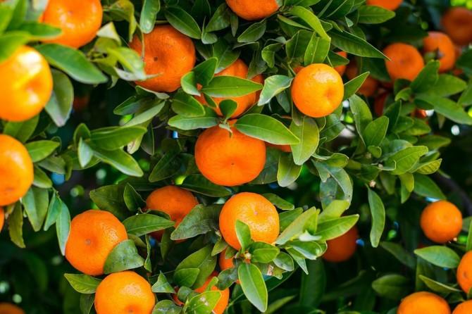 Rûsya şandina 490 ton portakal û mandîla ya ji Tirkîyê asteng kir
