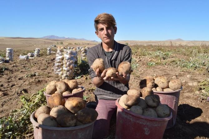 Ahlat patatesinde rekolte çiftçinin yüzünü güldürdü