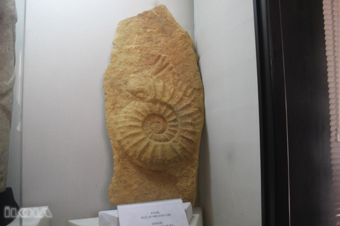 65 milyon yaşında devasa salyangoz fosili
