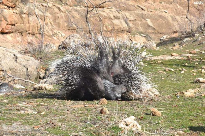 Three arrested over killing an indian crested porcupine