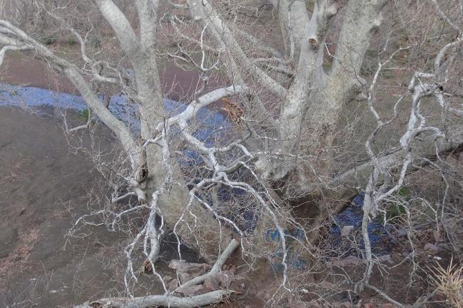 Çelikhan'da 570 yıllık çınar zamana direniyor