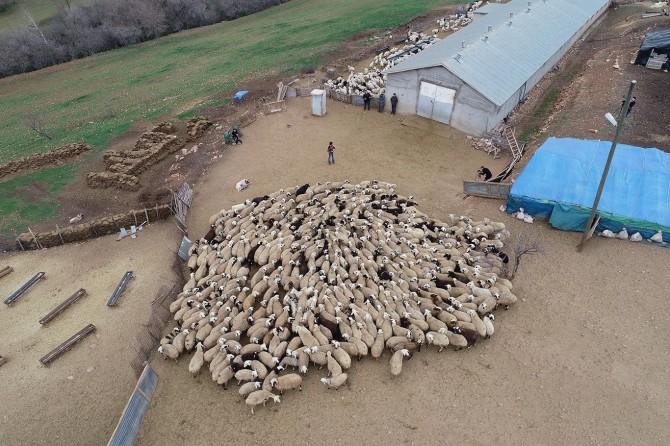 Koyun ve kuzuların birbirini tanıması Allah'ın bir hikmetidir