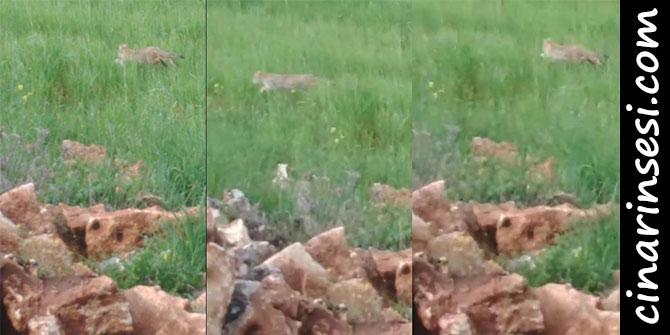 Çınar Karabudak'da leopar ilk kez görüntülendi
