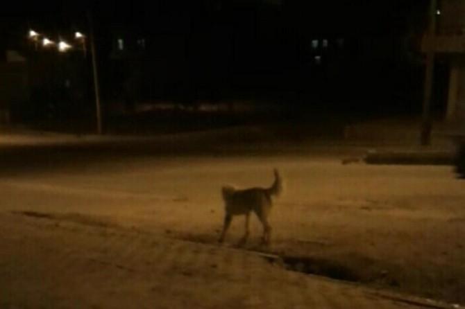 Nusaybin'de köpek saldırısı: 3 çocuk yaralı