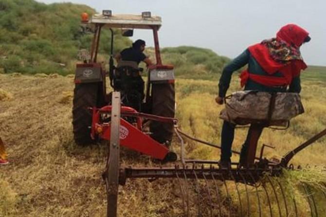Viranşehir'de mercimek hasadı başladı