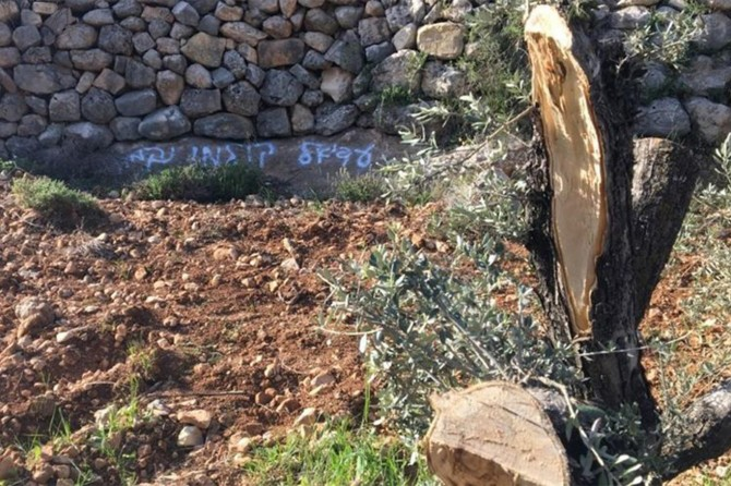 Occupying zionists uproot dozens of olive trees