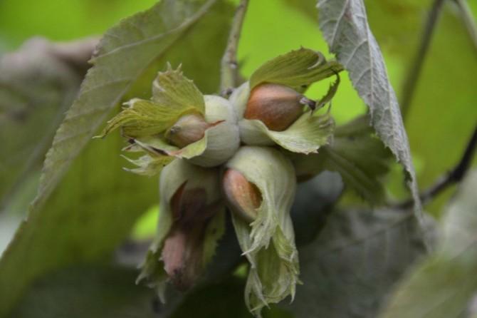Fındık hasadında çalışacak işçilere ödenecek ücretler