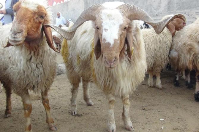 Kurbanlık hayvanların İstanbul'a girişine 27 Temmuz'dan itibaren izin verilecek