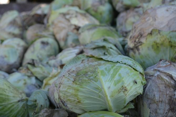 Hasadı yapılan tonlarca lahana çürümeye terk edildi