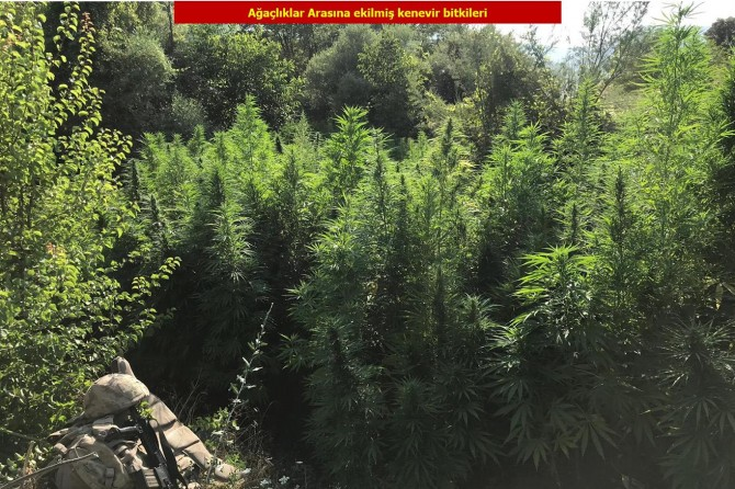 Lice'de 1 milyon 378 bin kök kenevir bitkisi ele geçirildi