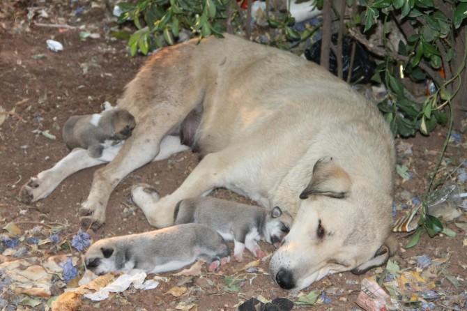 Anne köpek ve yavruları sahip çıkılmayı bekliyor