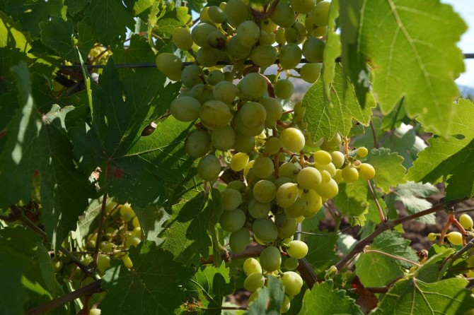 Farmers expect high yield from Mezrona grape