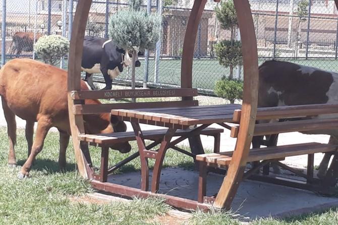 Nusaybin'de sokağa salınan inekler yeşil alanlara zarar veriyor
