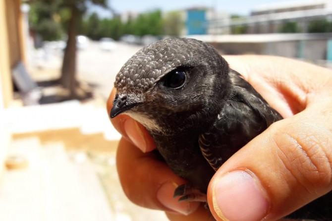 Mardin'de Ebabil kuşu bulundu