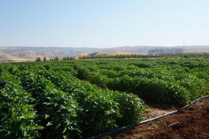 Siirt'te çiftçiler için alternatif ürün yetiştiriliyor
