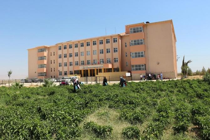Kızıltepe'de biber tarlası geçim kaynağı oldu