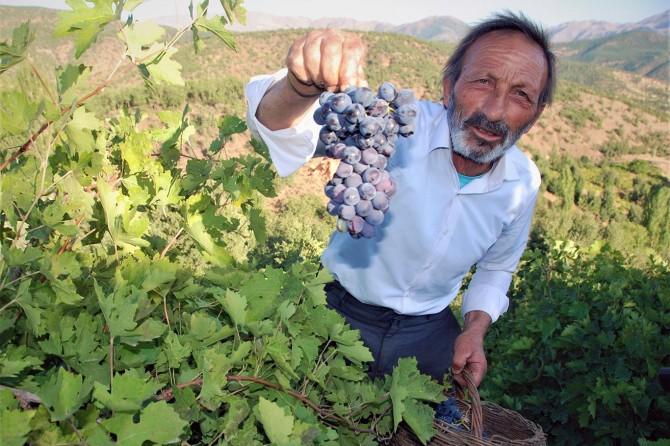 Bitlis ekonomisine büyük katkı sunan üzüm hasadına başlandı