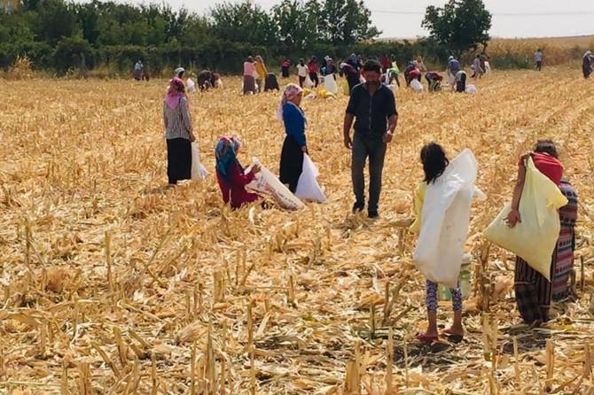 Soluğu mısır tarlalarında alıyorlar