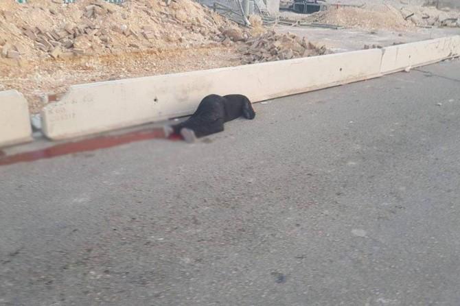 Occupation gangs massacred a Palestinian woman