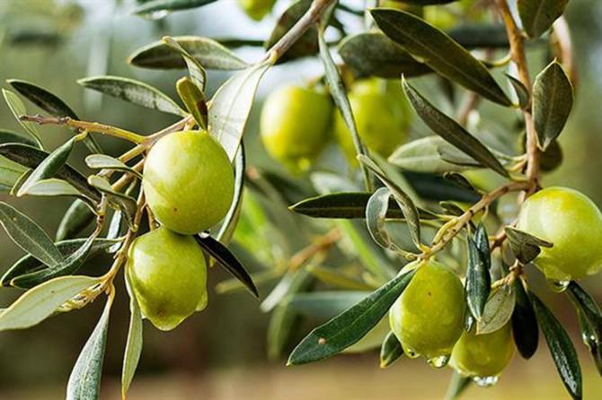 Sofralık zeytin ihracatında artış