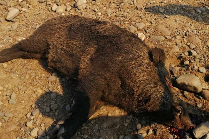 Palu'da domuz avı gerçekleştirildi