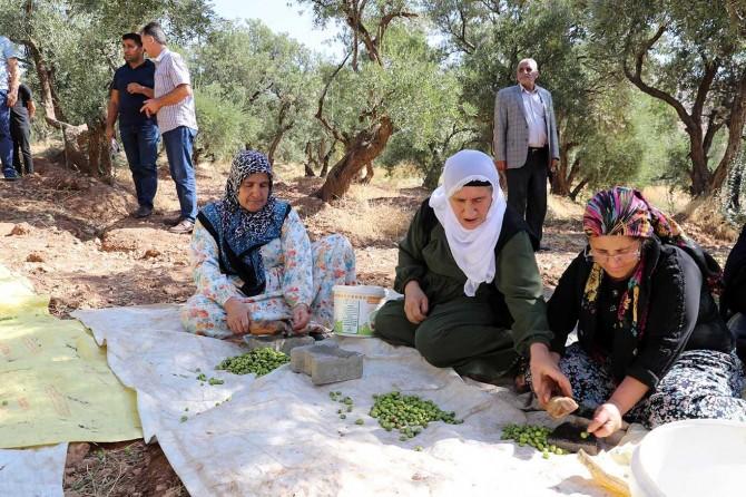 Derik'te zeytin hasat sezonu başladı