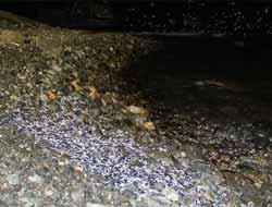 Rize Gündoğdu Beldesi Limanı'nda 15 Ton Hamsi Denize Saçıldı