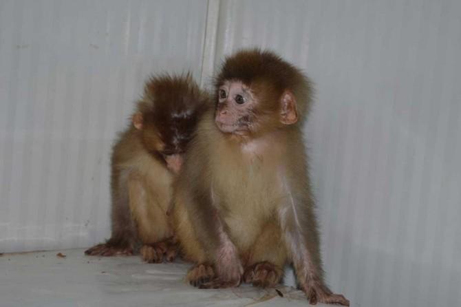 Nesli tükenme tehlikesi altındaki örümcek maymunları ele geçirildi