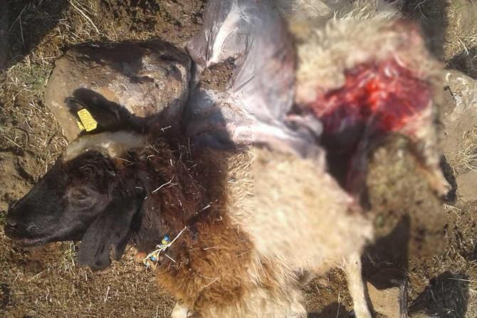 Çınar Çatmadal'da kurtlar 28 koyunu telef etti