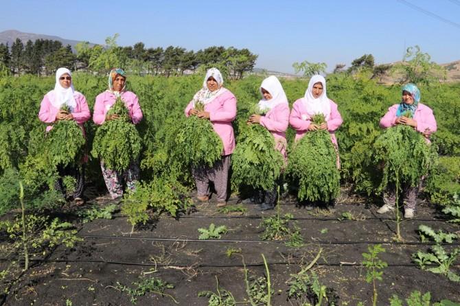300'den fazla hastalığa iyi gelen moringa bitkisinin hasadı Gaziantep'te başladı