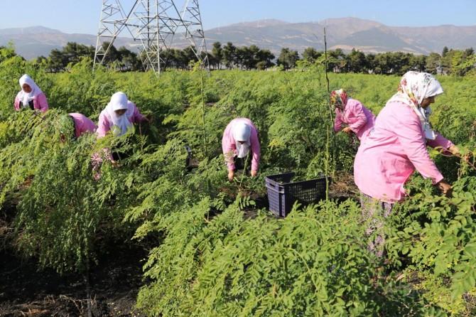 İsmini bile bilmedikleri moringayı Türkiye'ye tanıttılar