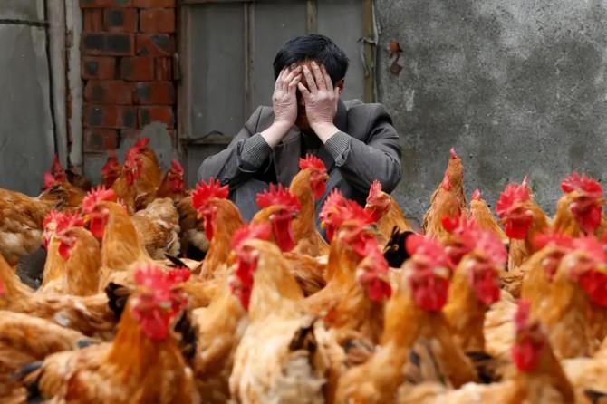 Çin'de koronavirüs salgınından sonra şimdi de kuş gribi salgını başladı