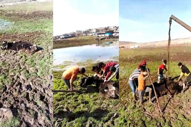 Şanlıurfa'da bataklığa saplanan inek mahalle sakinleri tarafından kurtarıldı