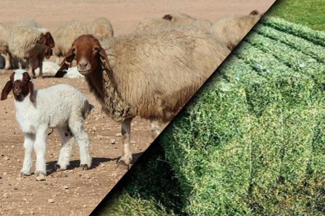 Ceylanpınar Tarım İşletmeden depremzedelere tonlarca yem ve küçükbaş hayvan desteği