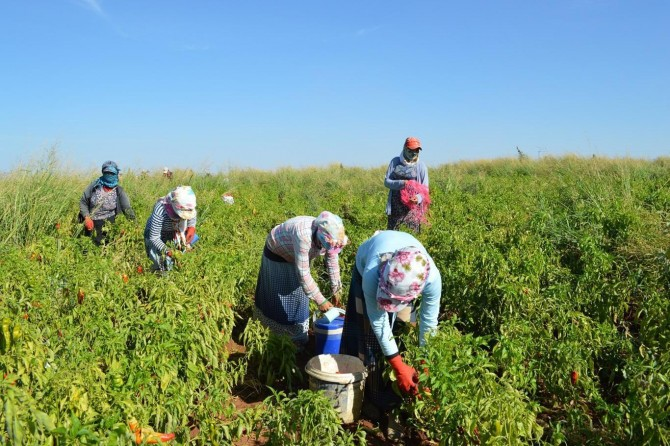 Mevsimlik tarım işçilerinin ücretleri arttı