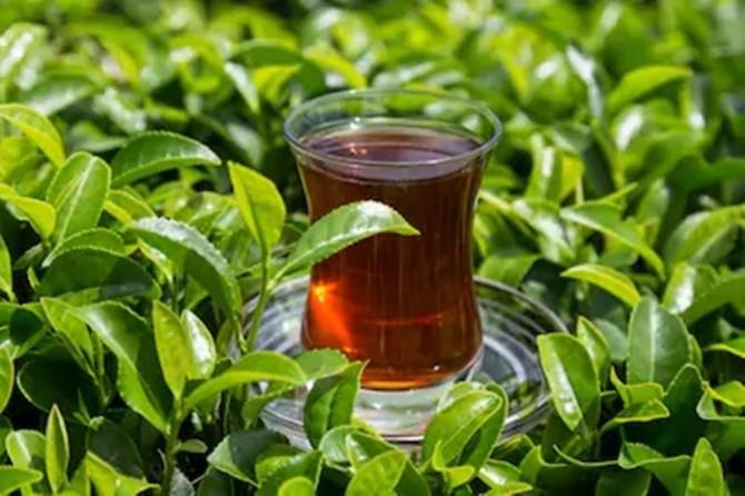 Çay hasadı iki hafta içerisinde başlayacak