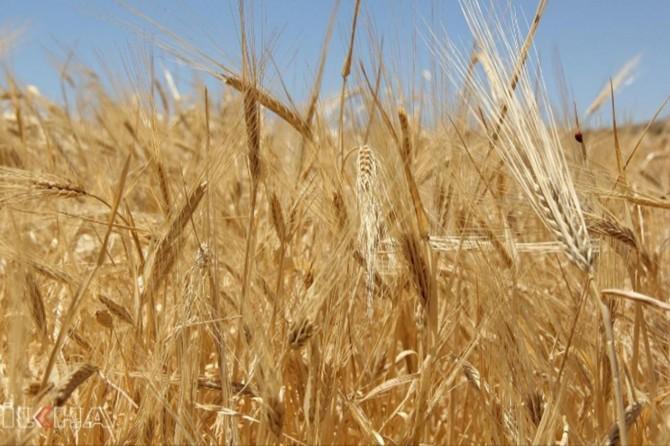 Adana'da buğday 1,75 liradan alıcı buldu