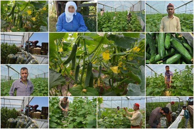 Yerli salatalık hasadına başlayan Batmanlı çiftçiler 40 derece sıcaklıkta oruç tutuyor