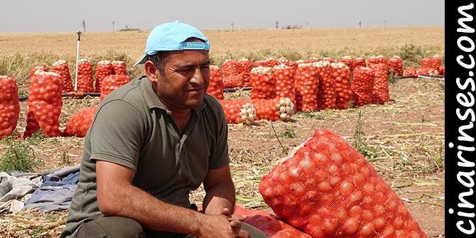 Ceylanpınarlı çiftçilerin ektiği soğan tarlada kaldı