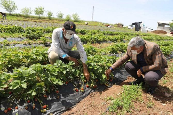 Diyarbakır'da çilek hasadına başlandı