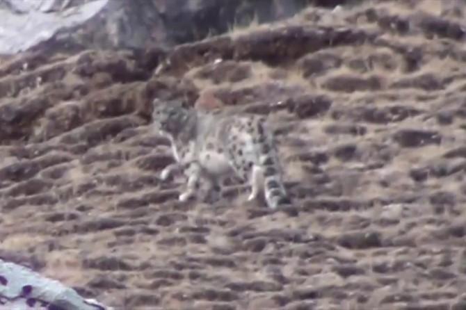 Kazakistan'da kar leoparları şehre indi