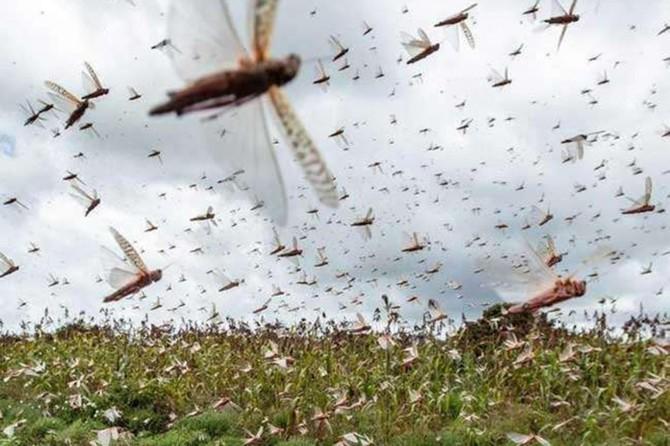 An invasion of locusts has spread across Pakistan