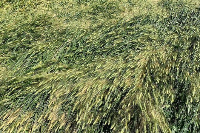 Viranşehir'de fırtına buğday tarlalarına zarar verdi, hasar tespit komisyon kuruldu