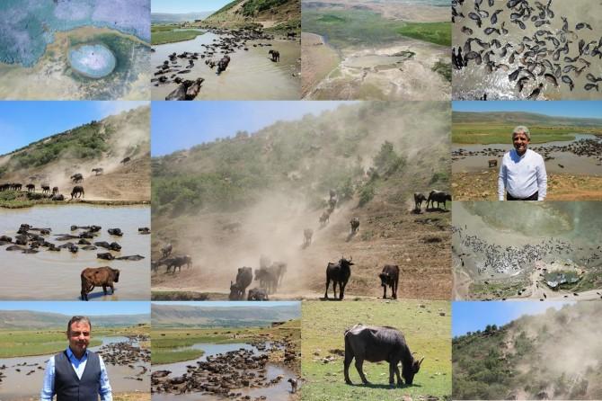 Bitlis ekonomisine büyük katkı sunan mandaların tozlu yolculuğu kaplıcada son buluyor