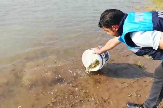 Siirt'te göletlere 55 bin yavru pullu sazan balığı bırakıldı